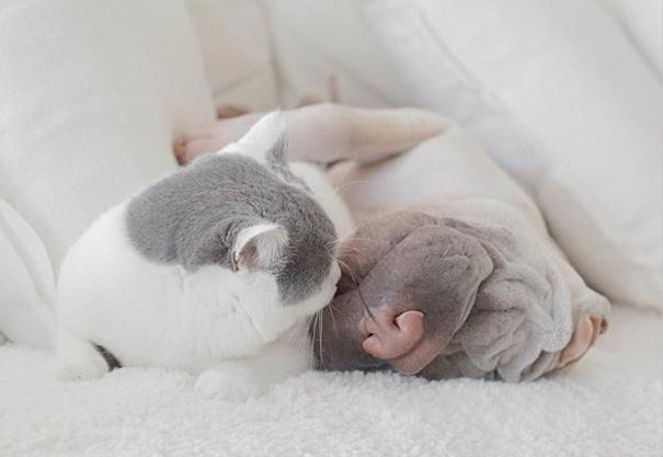shar-pei-dog-paddington-friend-annie-cat-13