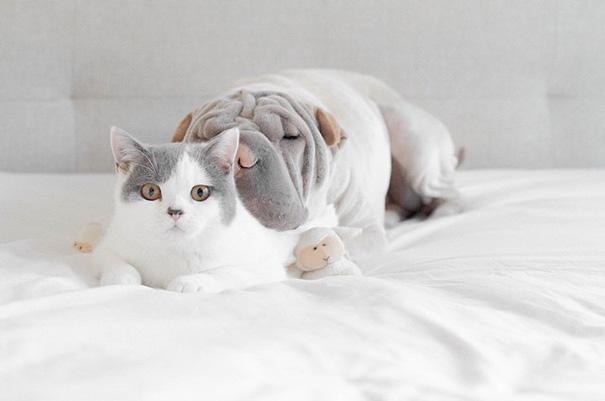 shar-pei-dog-paddington-friend-annie-cat-2