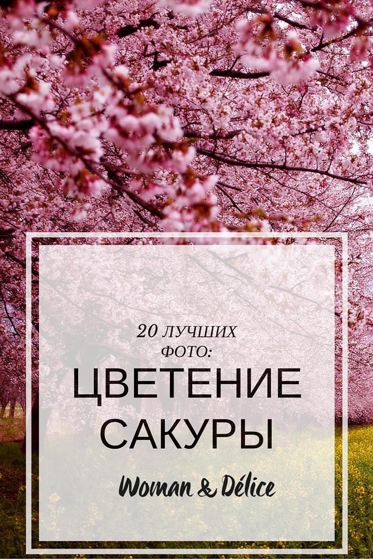 САКУРА, цветение сакуры, япония, весна, цветущие вишни.