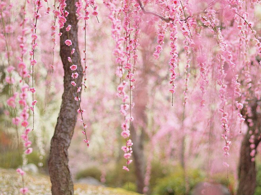 Цветущая сакура. Japan. Sakura