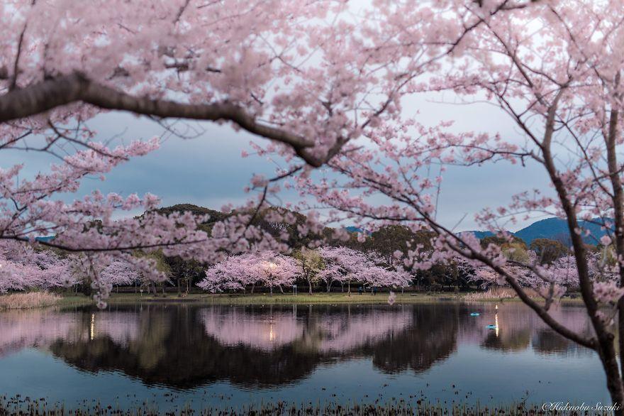 Цветущая сакура. Blossoming sakura. woman-delice.com