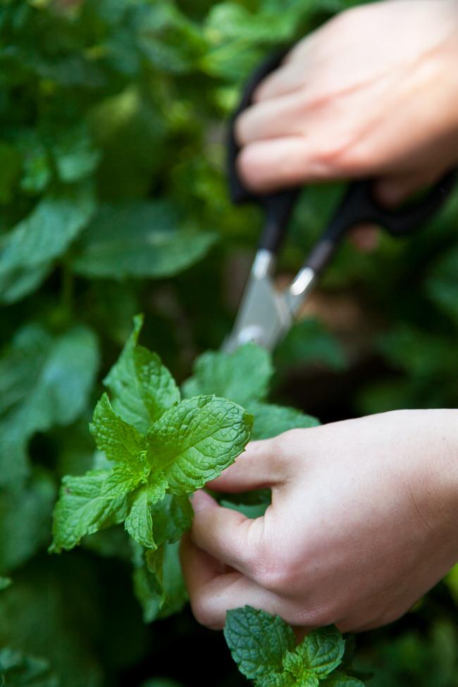 как сушить травы, специи, чай