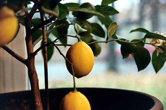 Домашняя оранжерея: как вырастить лимон на подоконнике